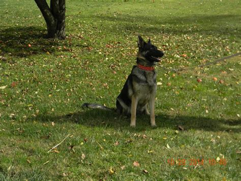 hoobly puppies for sale akc german shepherd puppies for sale in hoobly classifieds