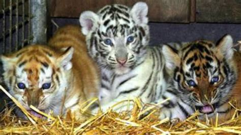different colored tigers triplets born with different colored fur