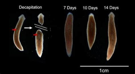 regeneration and pattern formation in planarians iii planarians regeneration and the medicine of the future