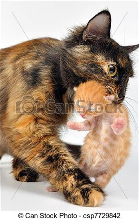 stock photo of mother cat carrying newborn kitten mother