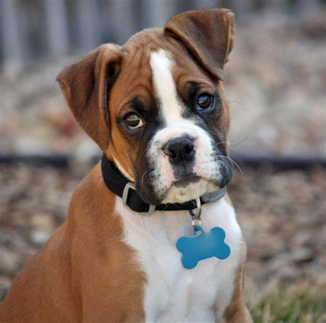 daily puppy boxer puppies photograph reggie the boxer puppies dai
