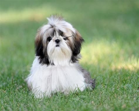 all about shih tzu shih tzu history personality appearance health and pictures