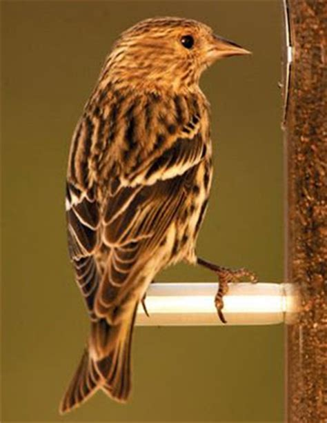 wild birds unlimited plain little brown striped bird