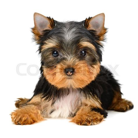 pictures of yorkies at different ages yorkie puppies at different ages yorkie photos at different ages