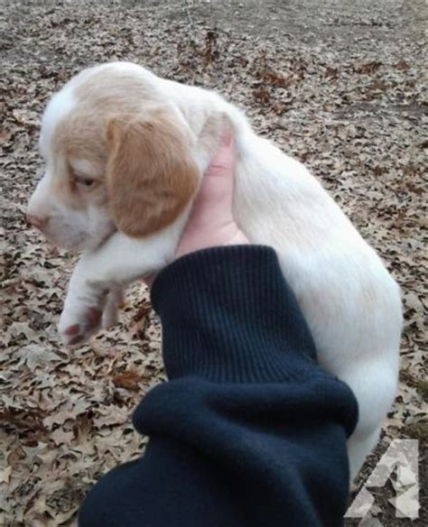 doxle puppies for sale beautiful coat piebald doxle puppy for