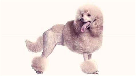 different poodle haircuts poodle cuts and hairstyles petcarerx com
