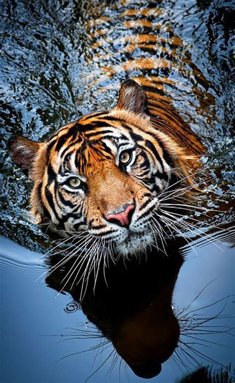 Awesome Animal top 10 photos of big cats spirit animal pets and swimming