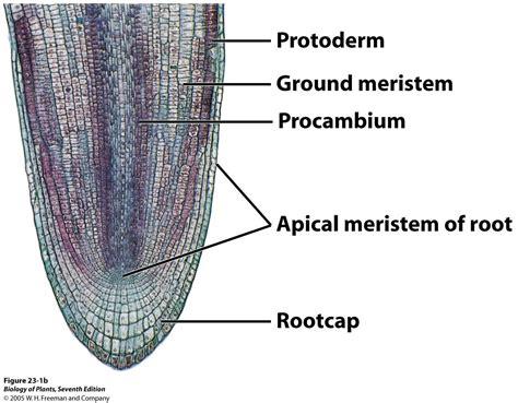 definition of longitudinal section botany lab studyblue