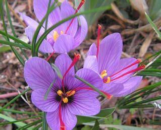 zafferano fiore fiori zafferano stratfordseattle