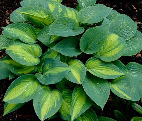 gardensonline hosta plantaginea