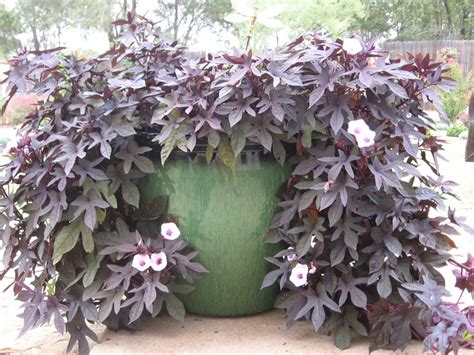 sweet potato container garden a sweet potato vine container garden dreams