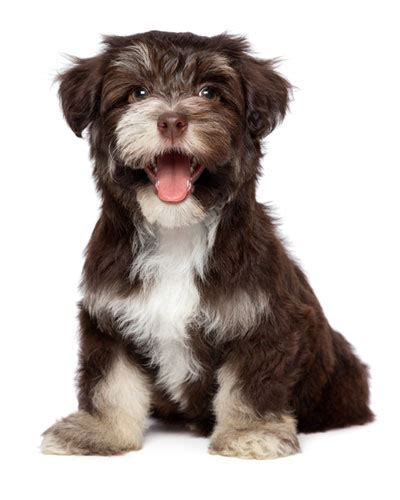 what were havanese bred for jomarans kennels havanese coton du tulear bred dogs