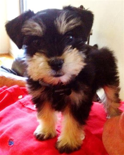 teacup schnauzer puppies best 25 teacup breeds ideas on teacup dogs baby dogs and cutest