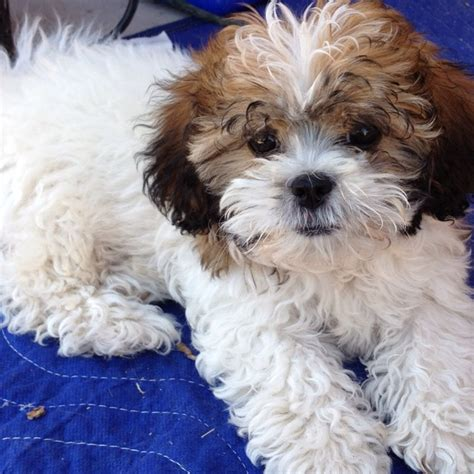 how to cut hair on a shihpoo 22 best toby haircut ideas images on pinterest shih