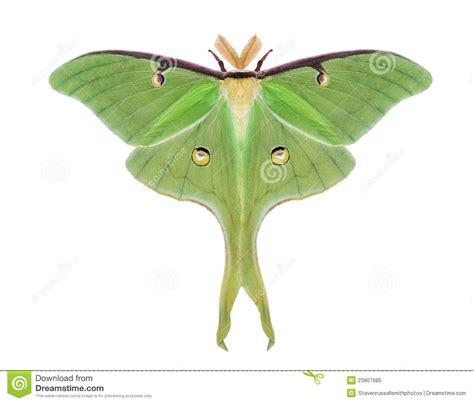 scow moth luna moth actias luna royalty free stock photo image
