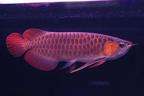 Makanan Ikan Hias Snow White ikan arwana akuarium ikan hias