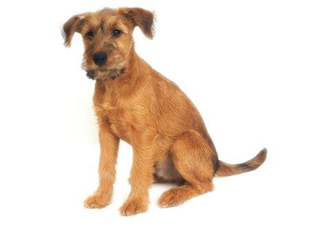 puppy finders terrier puppies for sale akc puppyfinder