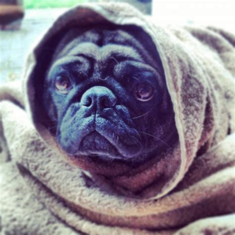 why do pugs the air 23 reasons why pug faces are the best dogbuddy