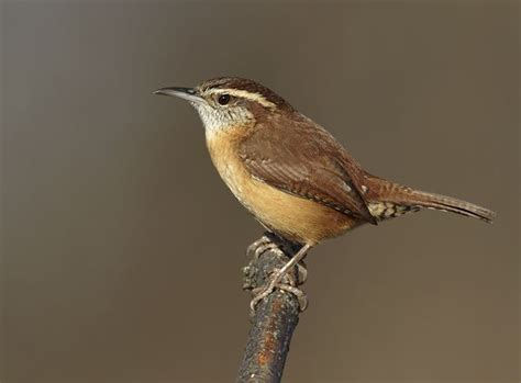 1000 images about carolina wrens on pinterest the