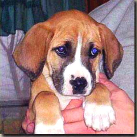 boxer beagle puppy boxer and beagle mix puppies www imgkid the image kid has it