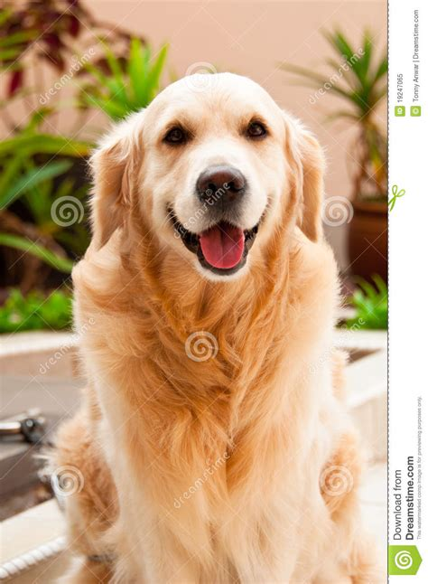 are golden retrievers friendly friendly golden retriever royalty free stock photo image 19247065