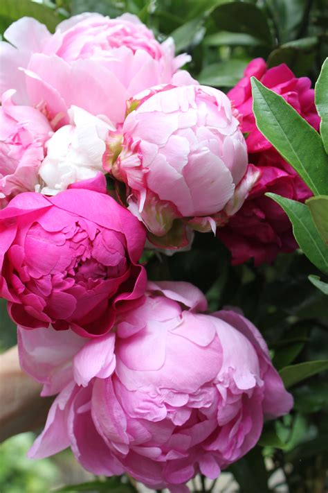 pink peonies nursery 1000 images about for the love of peonies on pinterest