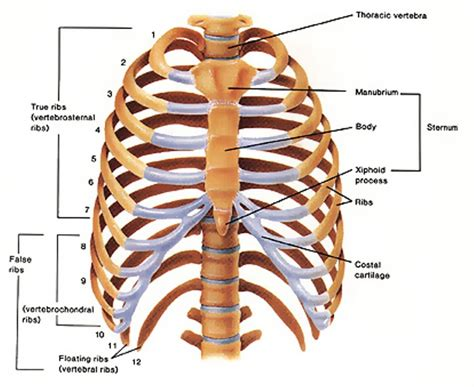 diagram rib cage human words and definition thinglink