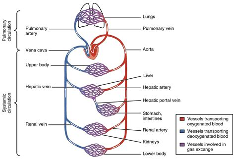 what color are arteries 20 1 structure and function of blood vessels anatomy and