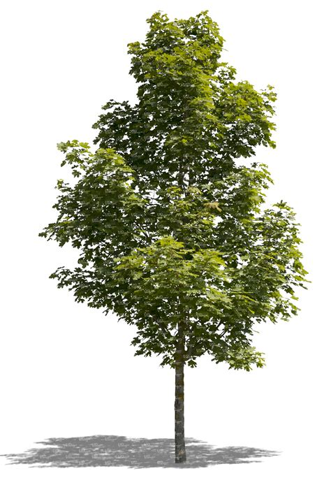 maple tree width medium sized maple trees garden inspiration