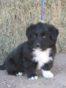 Images of border collie australian shepherd mix puppies for sale