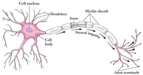 motor neurom related keywords suggestions for motor neuron