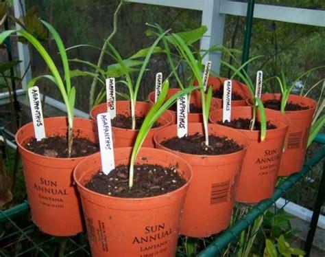 Pupuk Untuk Bunga Agar Cepat Berbunga cara menanam dan merawat bunga agapanthus agar cepat