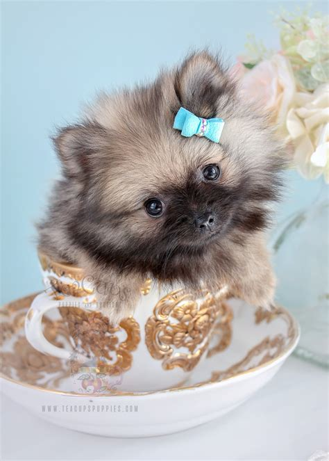 pomeranian puppies miami teacup yorkies for sale in miami teacup yorkies in miami teacup breeds picture