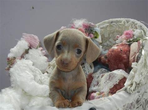 blue miniature dachshund puppies for sale blue miniature dachshund blue mini dachshund pups imported usa daschund for sale
