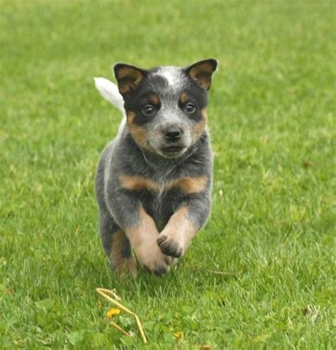 newborn blue heeler puppies baby blue heeler animal