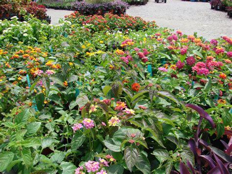 heat tolerant plants heat tolerant summer lovin plants garden supply co