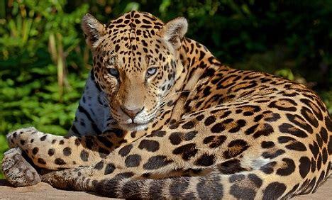 imagenes de jaguar mexicano m 225 s informaci 243 n sobre el jaguar informacion sobre animales