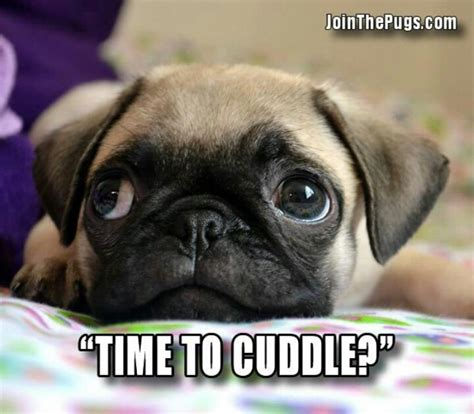 cuddle pugs pug cuddle pugs