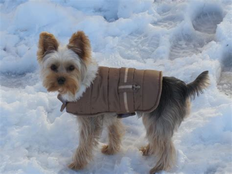 yorkies in the snow my yorkie in the snow with jacket a is the only thing on e