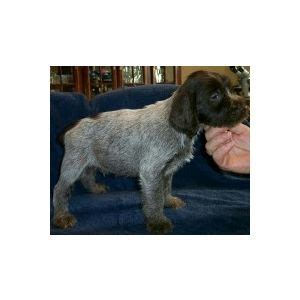 wirehaired pointing griffon puppies price wirehaired pointing griffons puppies michigan ad 51924