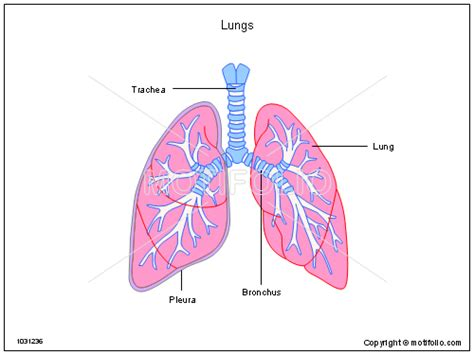 diagram of lungs lungs diagram www pixshark images galleries with a