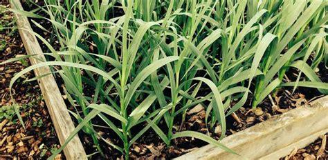 knoblauch pflanzen und ernten 4635 alles rund um das knoblauch ernten knoblauchinfo