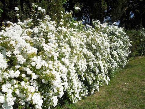 cespugli fiori bianchi siepe finta siepi caratteristiche delle siepi finte
