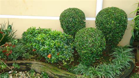 jual pohon teh tehan tanaman pagar dan pangkas supplier tanaman hias rizki taman tukang