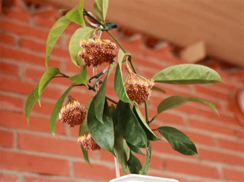 hoya praetorii wax plant world  flowering plants