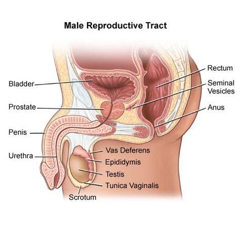 diagram of reproductive organs reproductive system diagram blank diagram