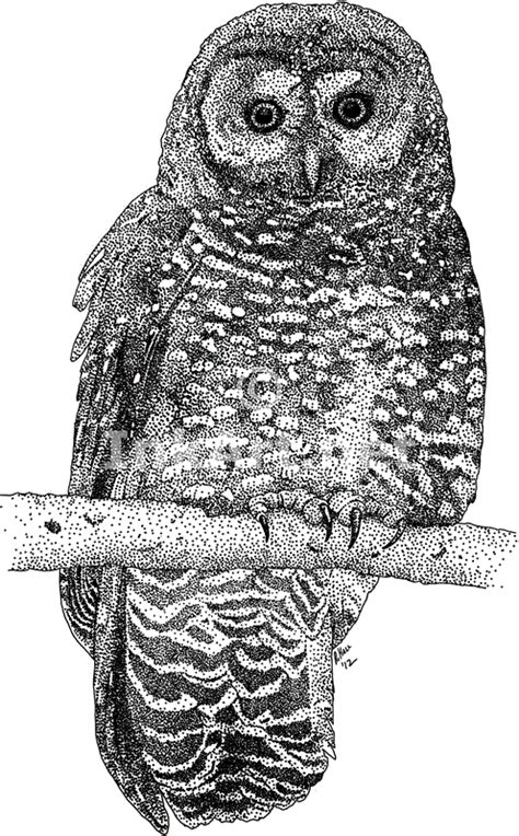 spotted owl coloring page northern spotted owl strix occidentalis caurina line art