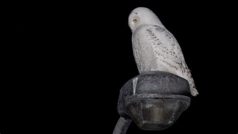 snowy in the city owl sightings near busy highway in