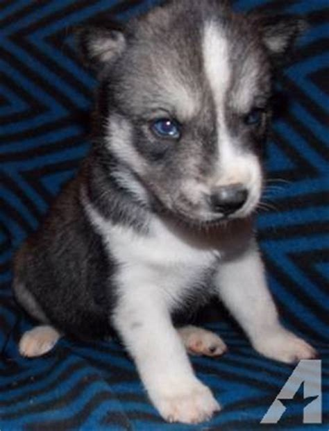wolf husky puppies with blue eyes akc siberian husky puppy female wolf grey blue eyes for