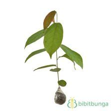 Tanaman Jahe Wulung jual tanaman obat keluarga toga bibitbunga